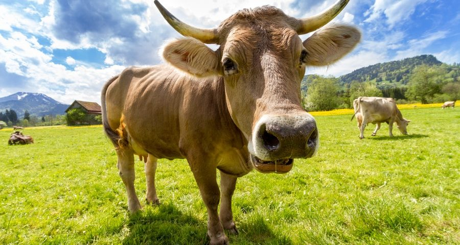 nature-animal-agriculture-cow