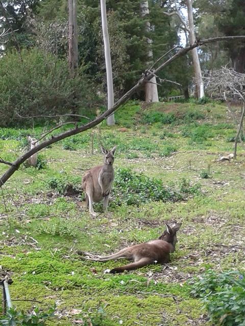 western-grey-kangaroo