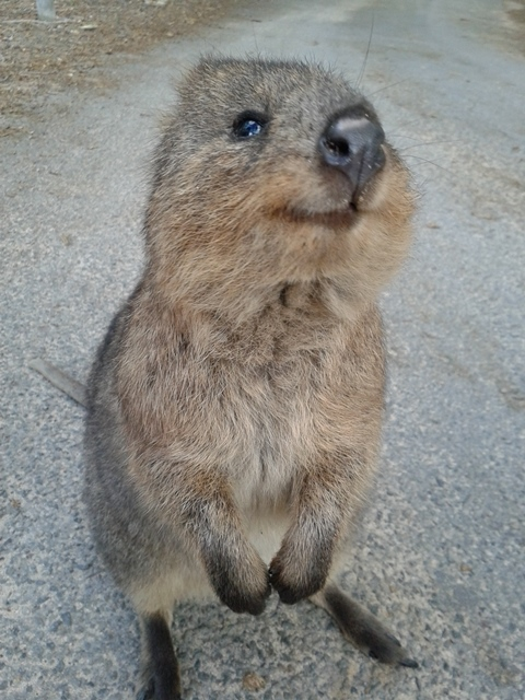 australian-quokka