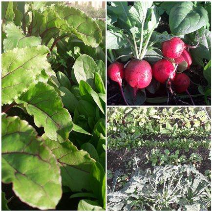 radish-green-gardening